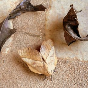 Giant Moth Disguised as a Leaf!