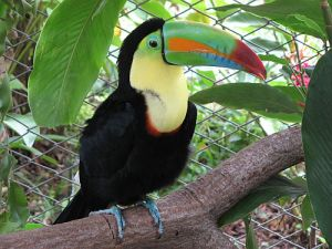 Keel-billed toucan from stock