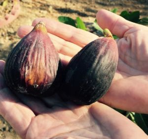 Sweet, delicious figs