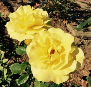 Fragrant Yellow Roses