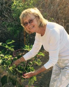 Sally harvesting figs in her garden